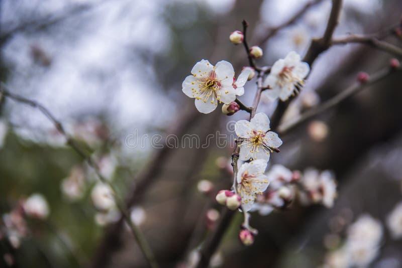 plum blossom stock photography