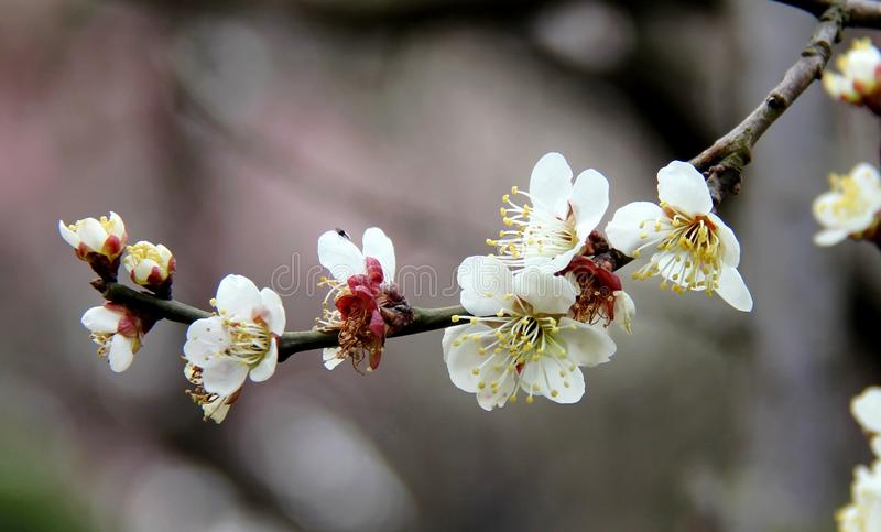 Download The plum blossom in spring stock image. Image of spring - 22607521