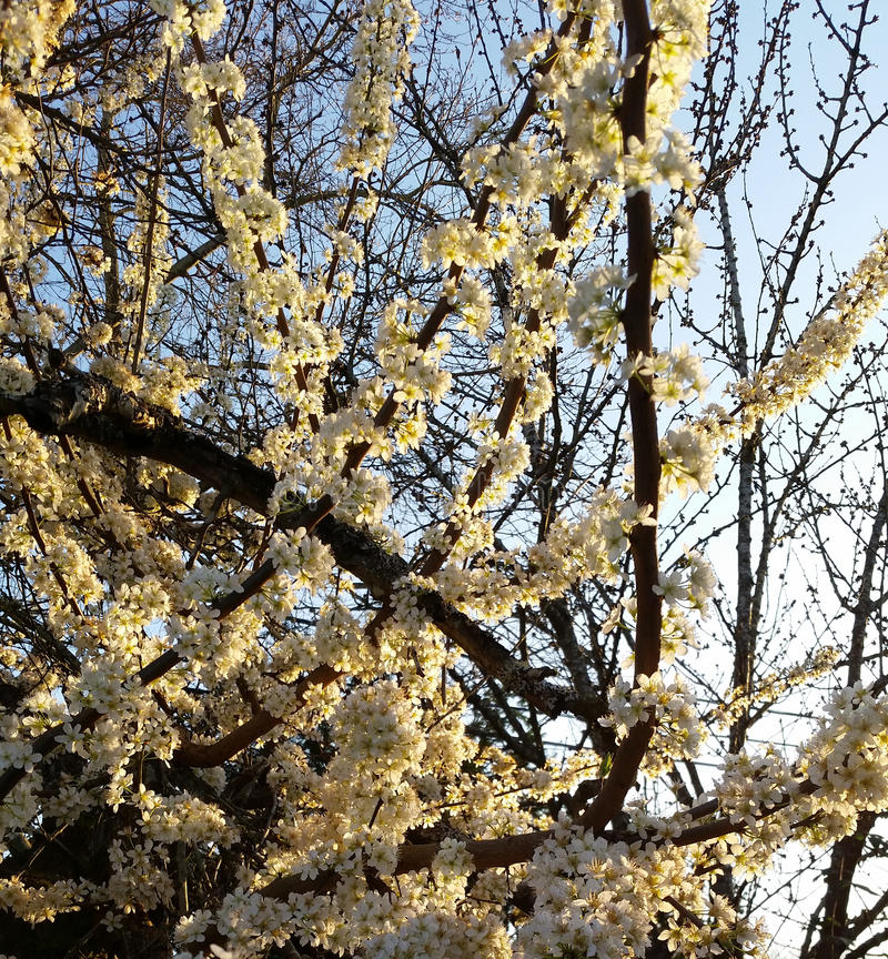 Plum Blossoms. Blooming in late February captured against the pale blue sky stock image