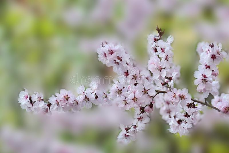 Plum blossoms royalty free stock photo