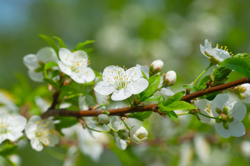 Plum blossoms in the garden. Plum blossoms in the spring garden stock photos