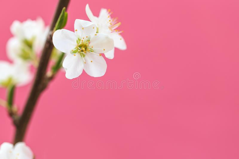 Plum blossoms in spring. In spring, flowers begin to bloom again stock photos