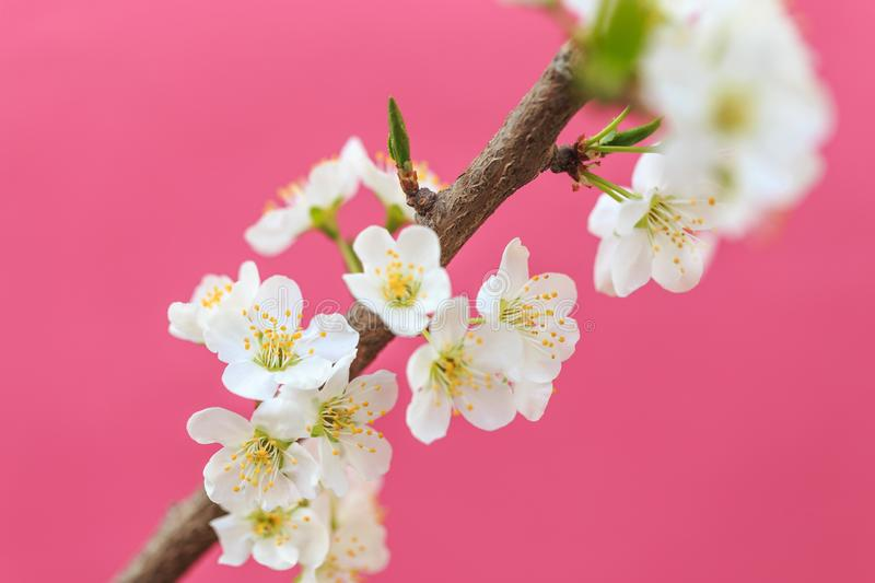 Plum blossoms in spring. In spring, flowers begin to bloom again stock image