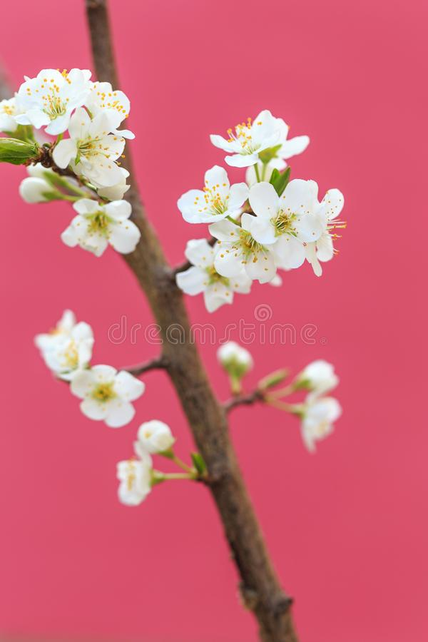 Plum blossoms in spring. In spring, flowers begin to bloom again stock photo