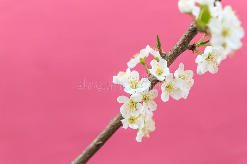 Plum blossoms in spring. In spring, flowers begin to bloom again royalty free stock photo