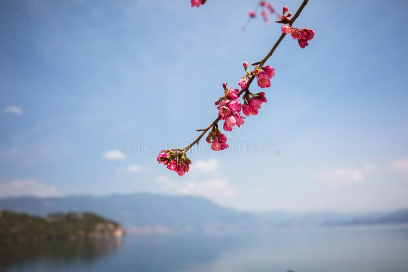 Cherry blossoms by the lugu lake stock images