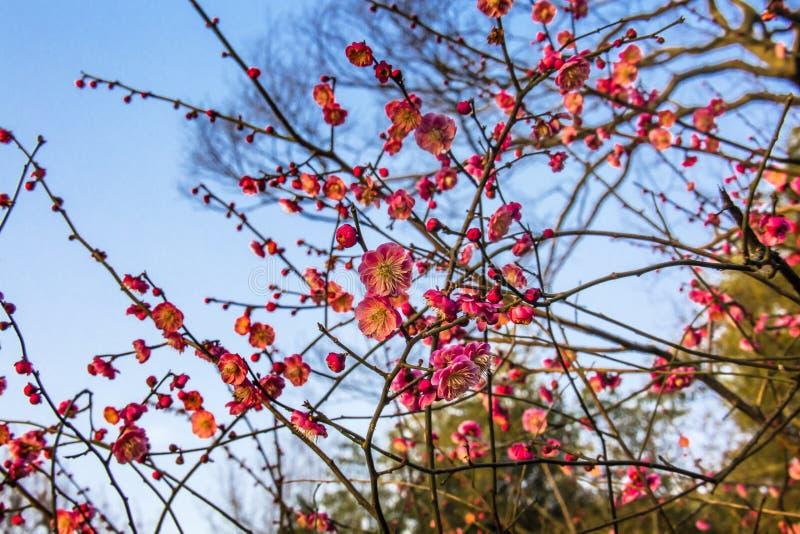 Plum Blossoms West Lake Hangzhou Jiangsu China imágenes de archivo libres de regalías