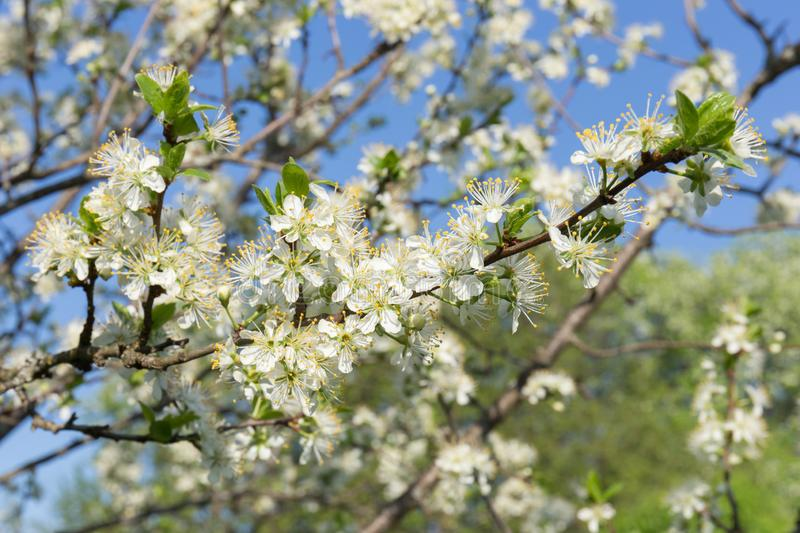 Plum branch, close-up, with white flowers and young green leaves on the background of the spring garden and blue sky. stock images