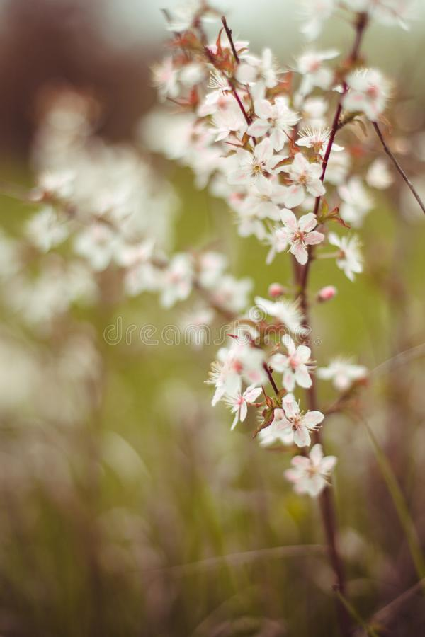Plum branch with white flowers royalty free stock photography