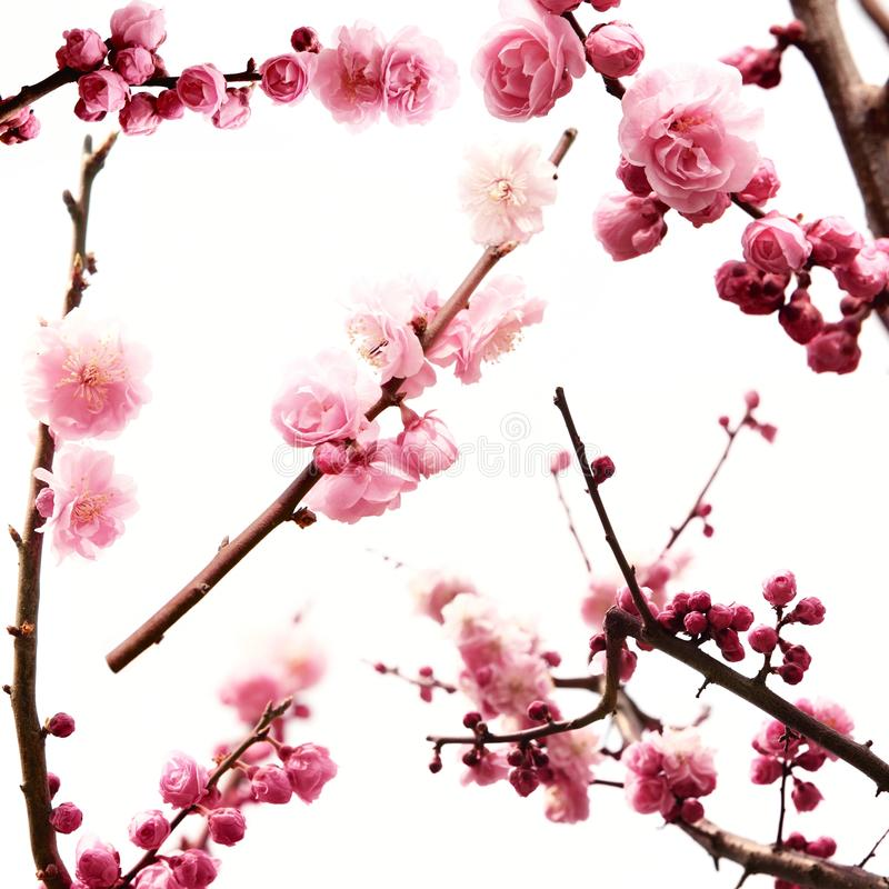 Free Plum Branch With Flowers Stock Photos - 14017643