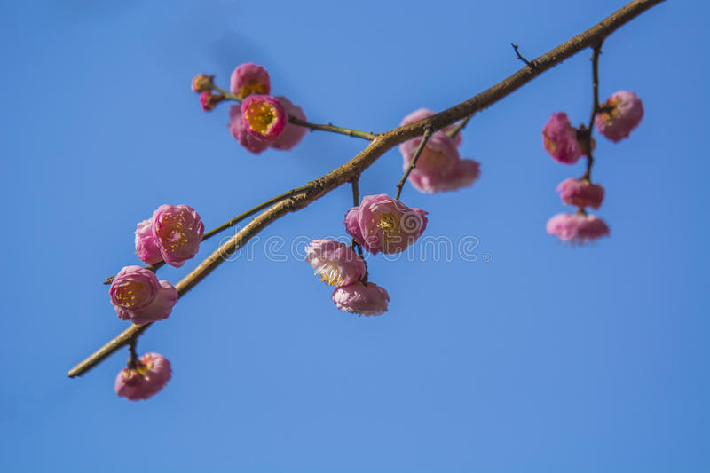 Plum. Is China`s top ten flowers of the first, and orchids, bamboo, chrysanthemum together as a four gentlemen, and pine, bamboo and known as the `three-year stock photography