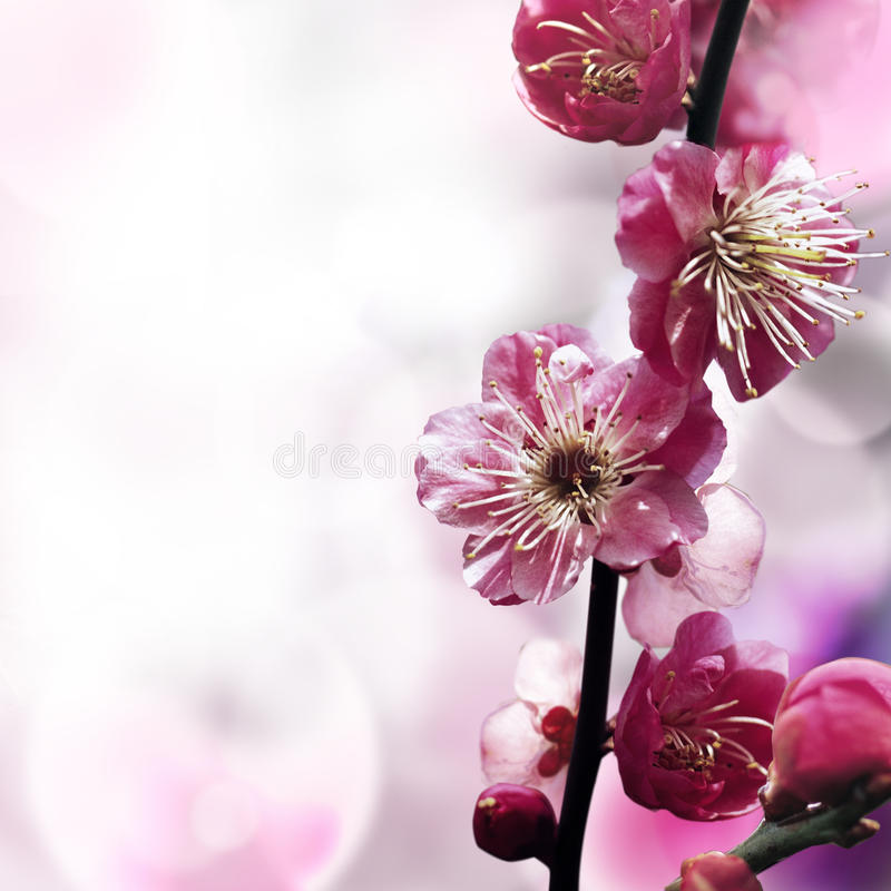 Plum flower stock photo
