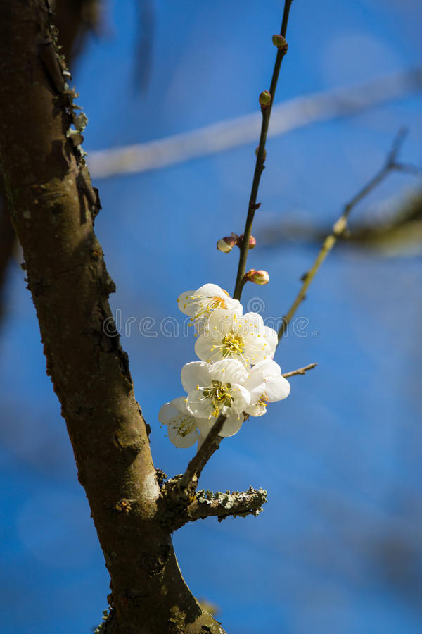 Download Plum flower stock image. Image of relax, scenery, flower - 25361705