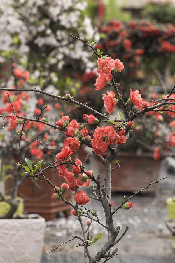Plum Flower fotos de stock