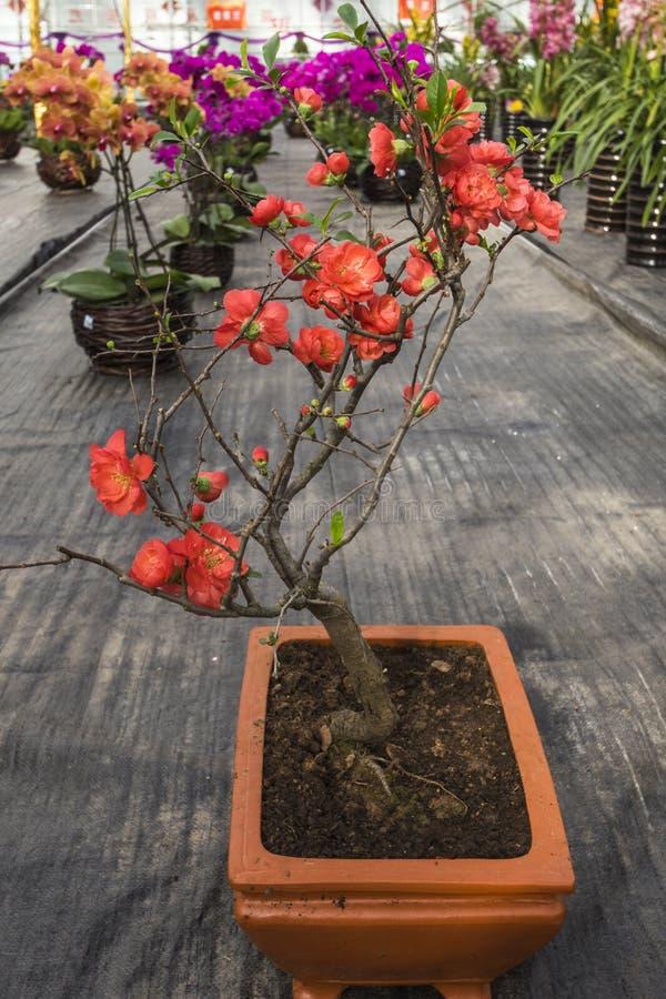 Plum Flower imagem de stock
