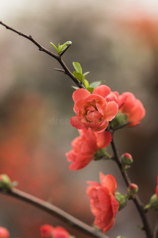 Plum Flower fotos de stock royalty free