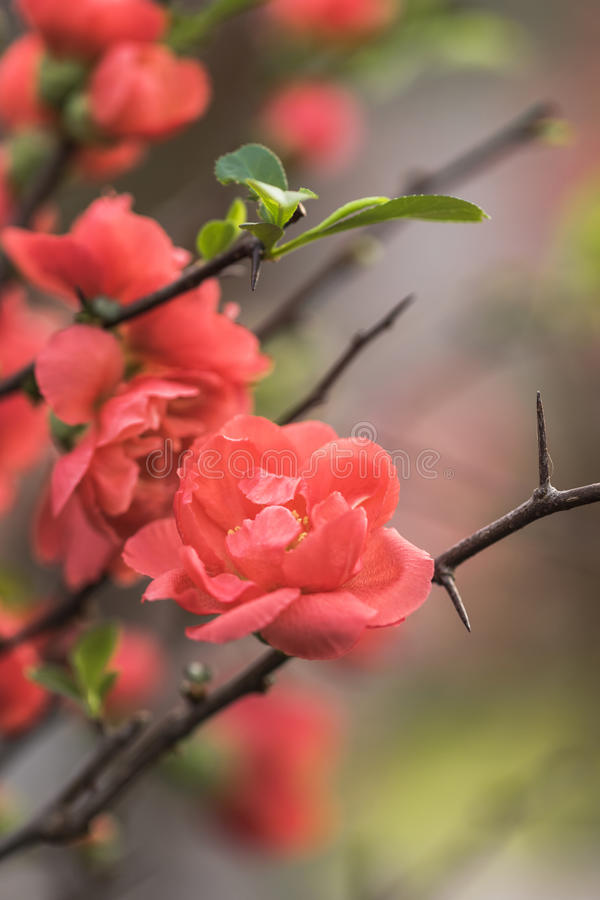 Plum Flower imagens de stock