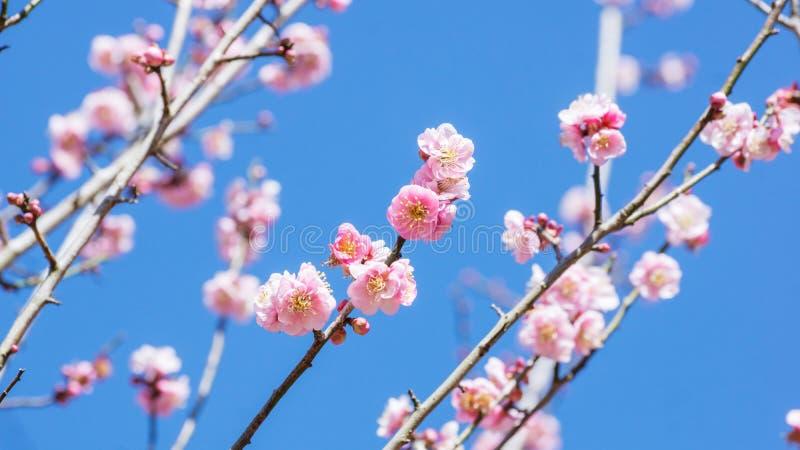 Plum Flower royaltyfri fotografi