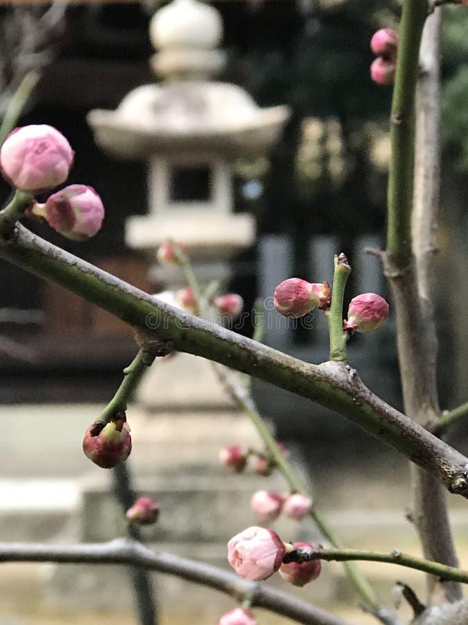 Plum Flower imagem de stock royalty free