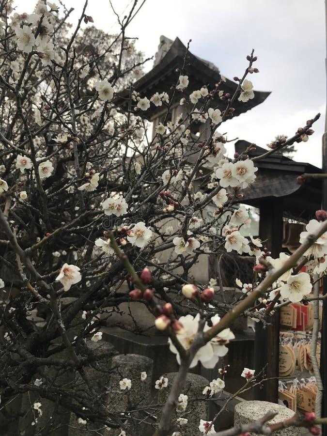 Plum Flower foto de stock royalty free