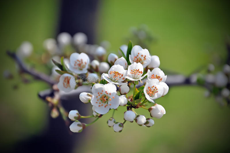 Plum flower picture stock photography