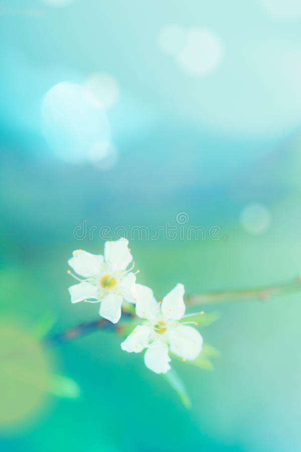 Free Plum Flower Shallow Depth Of Field Selective Focus. Royalty Free Stock Photo - 51745035