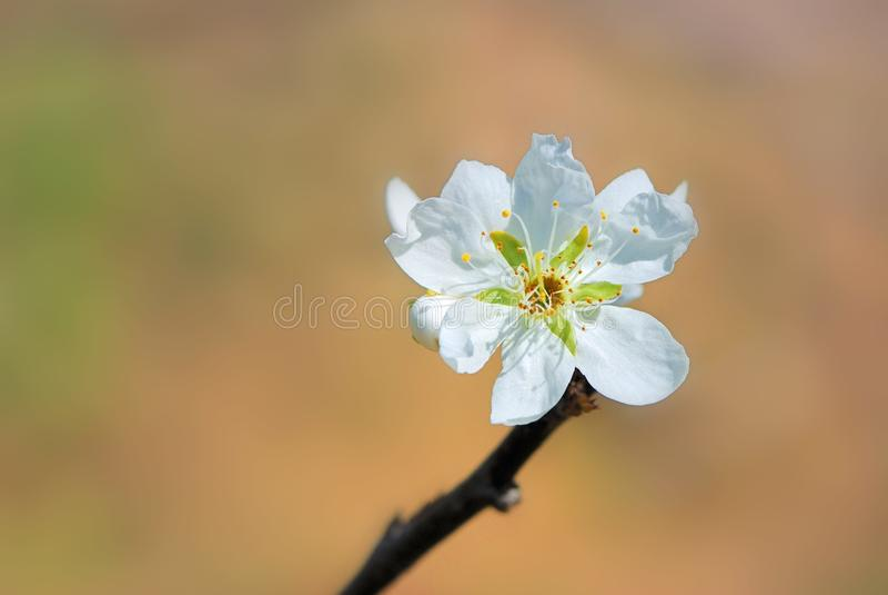 Plum flower. Tree in the garden, spring bloom stock images
