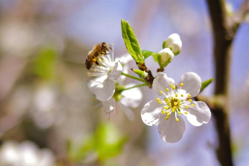 Plum Flowers imagem de stock royalty free