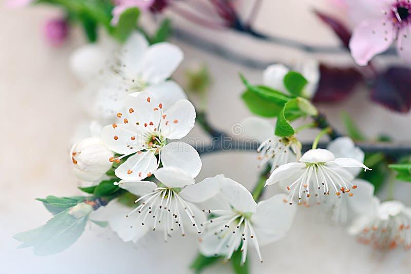Plum Flowers stock foto