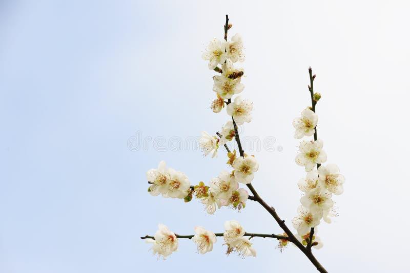 Download Plum flowers stock photo. Image of color, pretty, colour - 12294244