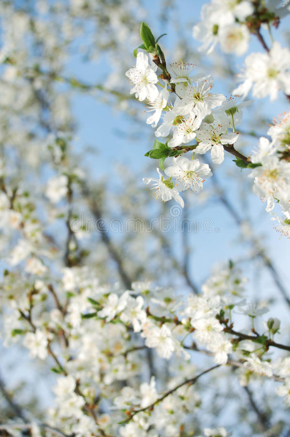 Download Plum flowers stock photo. Image of bright, over, meadow - 13767986