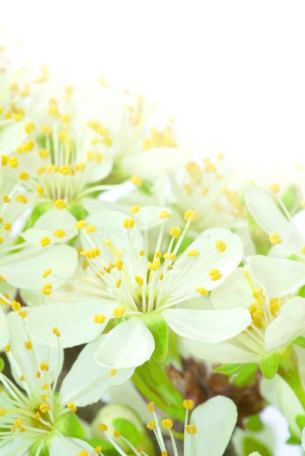 Plum flowers stock images