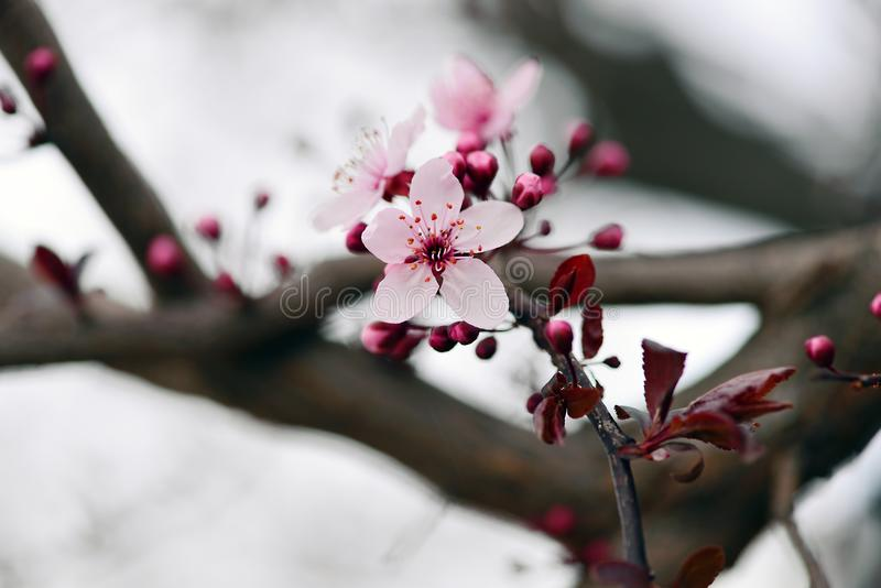 Plum flowers, and buds opening in spring time stock photos