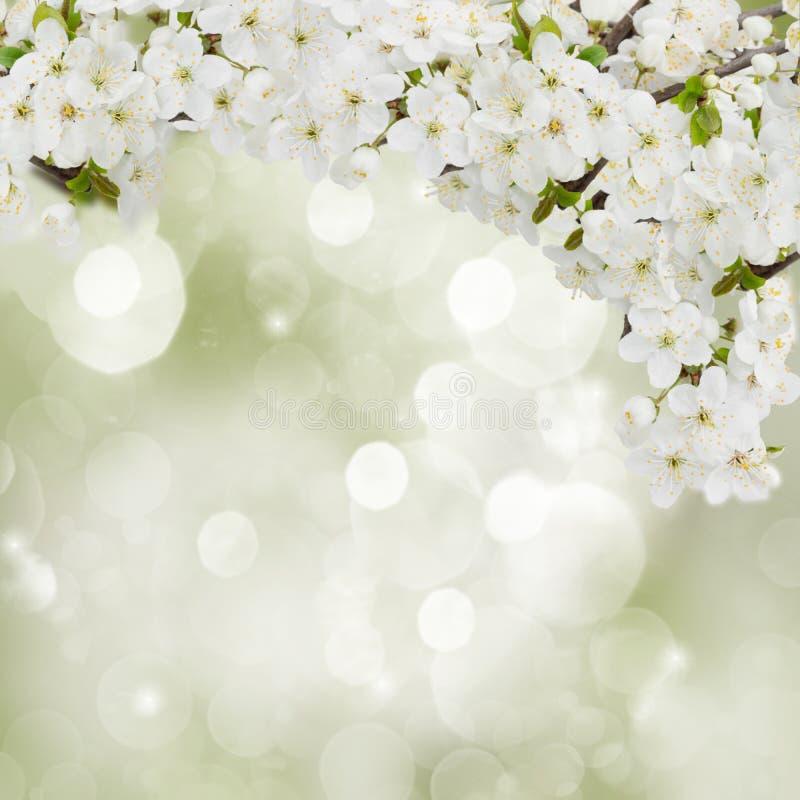 Plum Flowers de floraison dans le jardin photo libre de droits