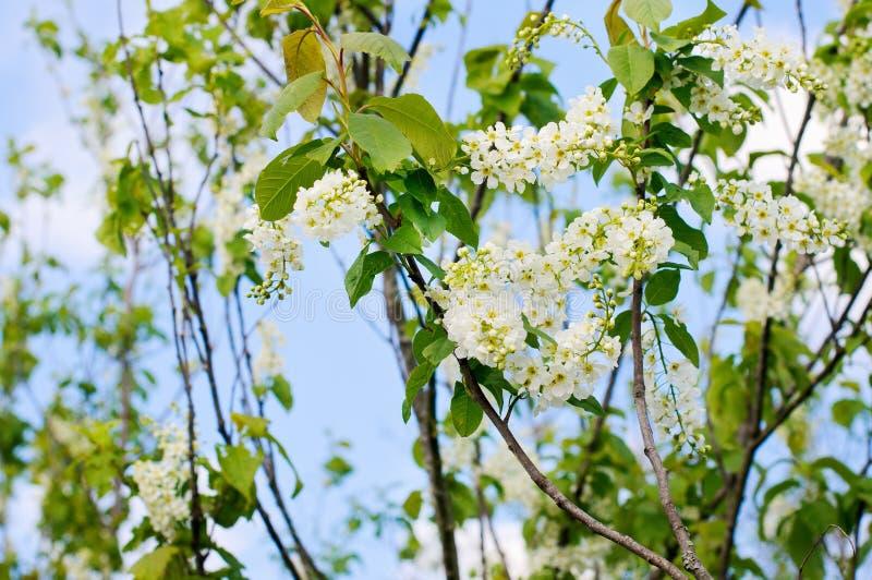 Plum Flowers de florescência fotografia de stock