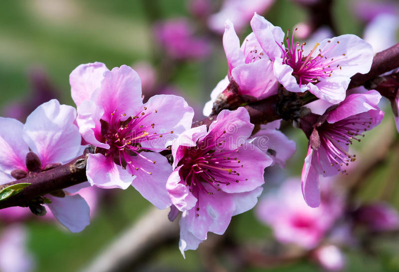 Plum Flowers. Pink flowers of the plum