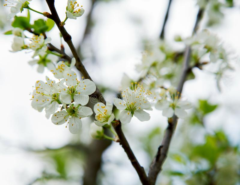 Plum flowers on a spring afternoon. Against the sky stock image