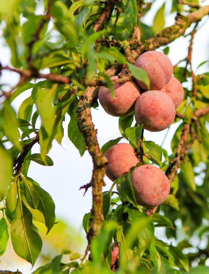 Plum fruit Moc Chau District, Son La province, Vietnam. Plum fruit Moc Chau District, Son La province, northern Vietnam stock images