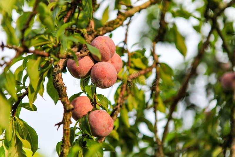 Plum fruit Moc Chau District, Son La province, Vietnam. Plum fruit Moc Chau District, Son La province, northern Vietnam stock photos