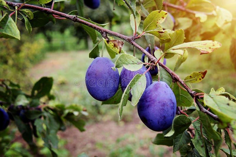 Plum Fruit på trädet arkivbilder