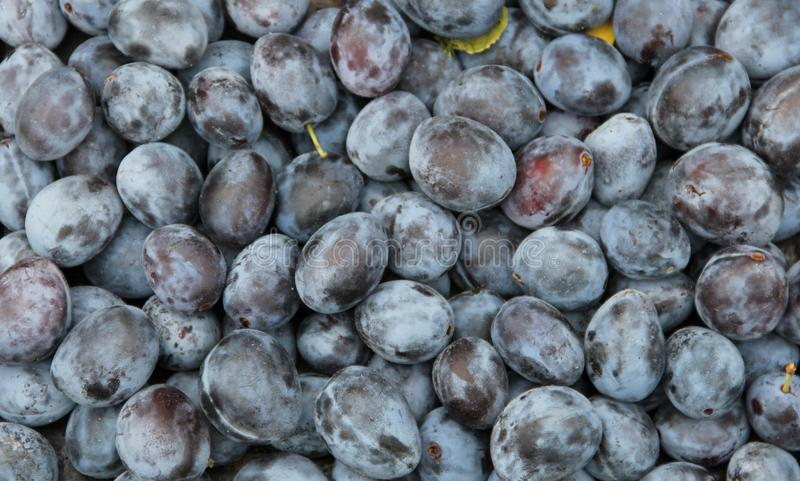 Plum Harvest 2018 stockbilder