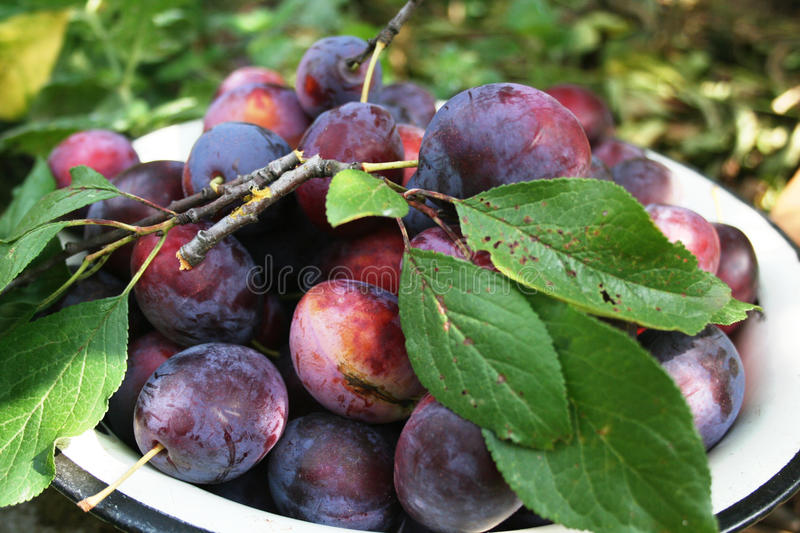 Download Plum harvest stock photo. Image of botany, collect, fine - 13672038