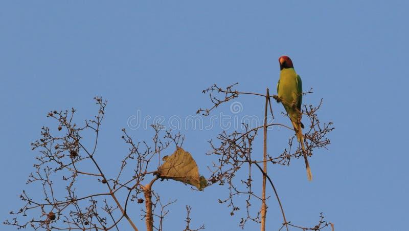 Plum Headed Parakeet stock fotografie