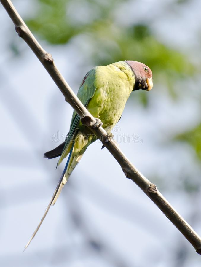 Plum Headed Parakeet royaltyfria foton