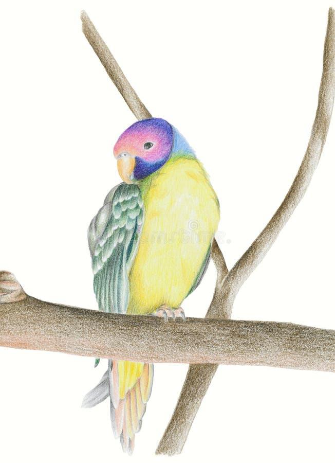 Plum headed Parakeet, royalty free stock images