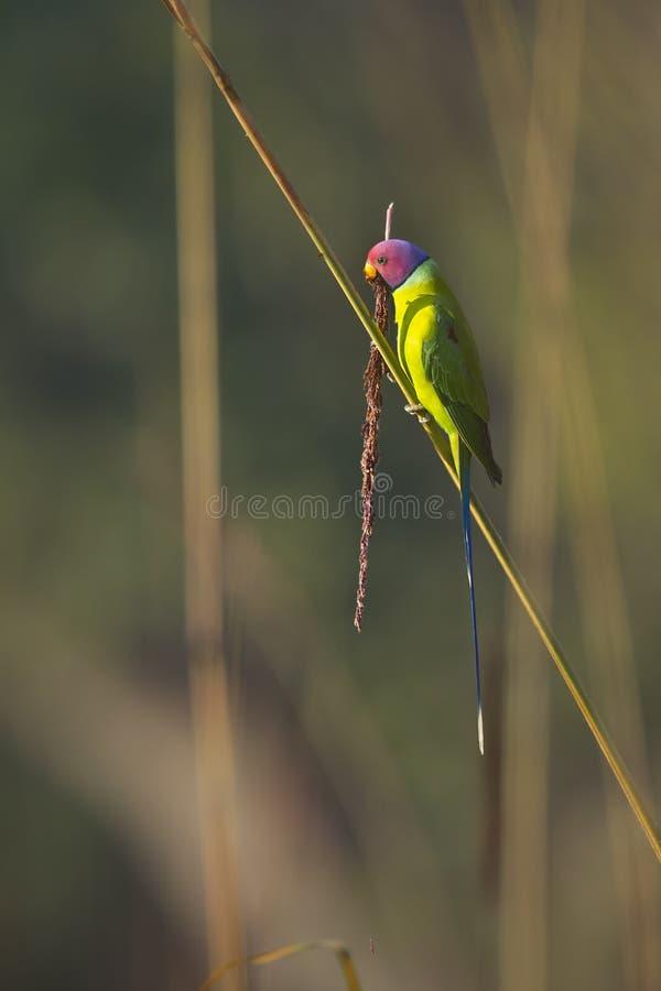 Plum-headed parakeet male in Nepal stock photo