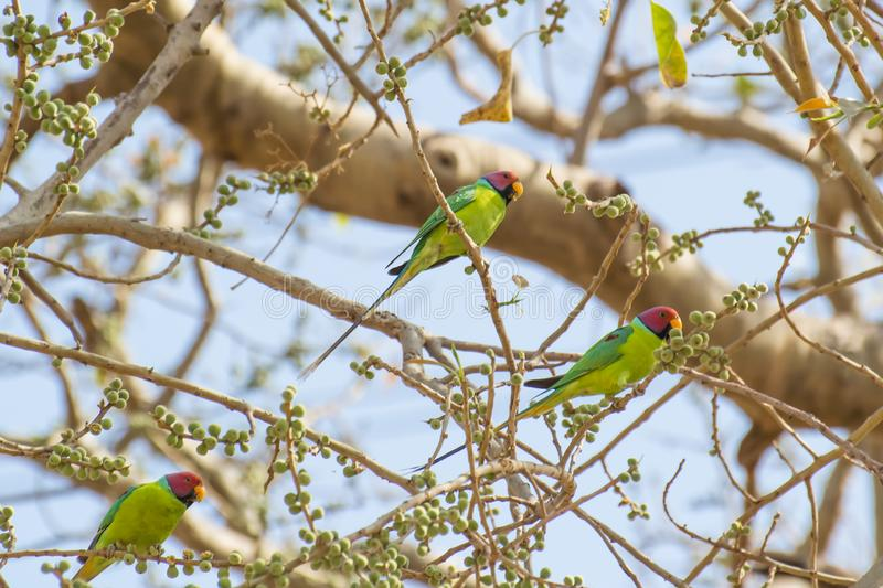 Plum-headed Parakeet Males Flock. Feeding on Fig fruits in spring summer season at Central Indian Forest stock photos