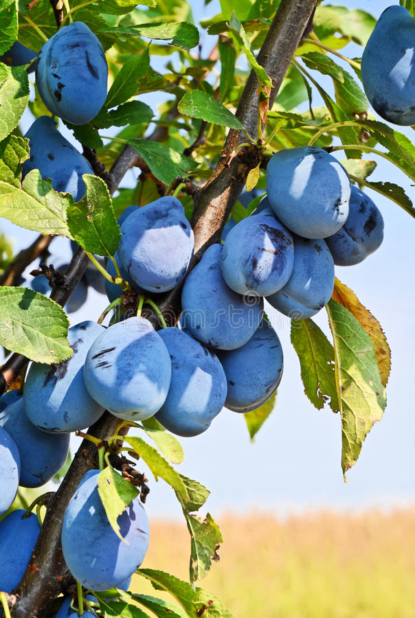 Plum Orchard imagem de stock royalty free