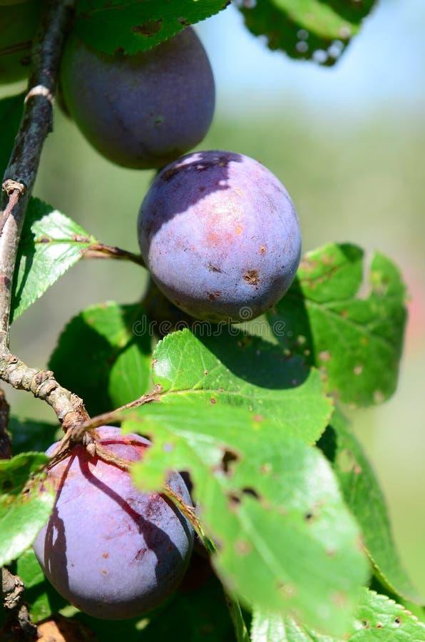 Plum orchard royalty free stock photos