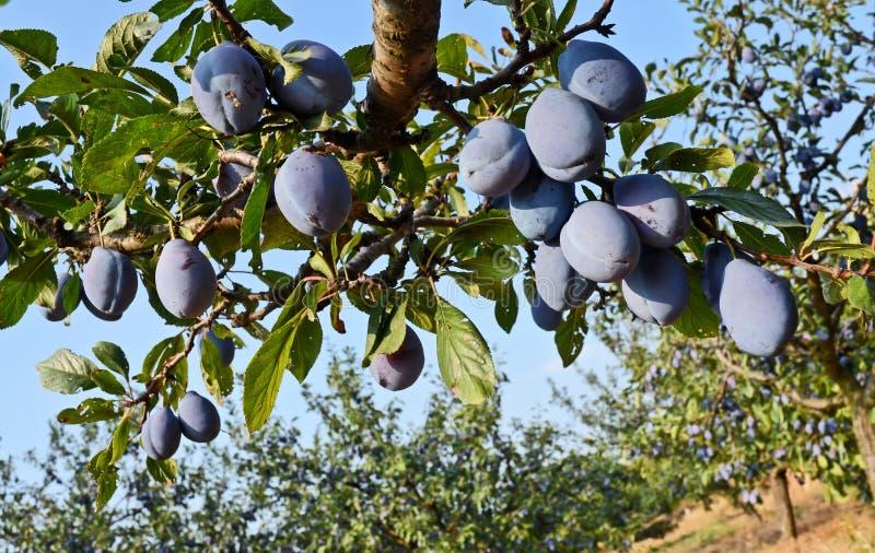 Plum Orchard royalty free stock image